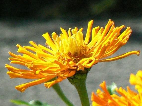 Zinnia Cacto Sortido: 15 Sementes
