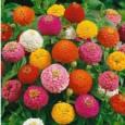 Zinnia Lilliput Sortido: 15 Sementes