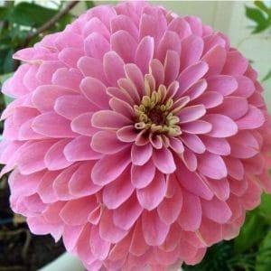 Zinnia Salmão Gigante da Califórnia: 15 Sementes