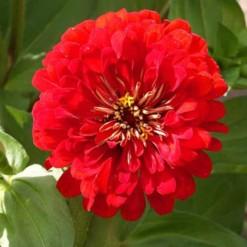 Zinnia Vermelha Gigante da Califórnia: 15 Sementes