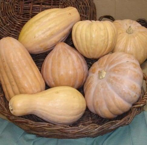 Abóbora Jerimum de Leite (Sergipana): 10 Sementes