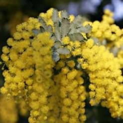 Acácia Golden Mimosa: 7 Sementes