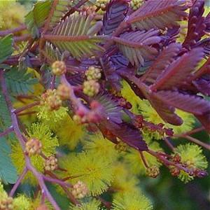 Acácia Purple Fernleaf: 7 Sementes