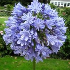 Agaphantus Azul: 1 Rizoma
