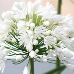 Agaphantus Branco: 1 Bulbo