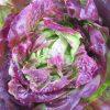 Alface Lisa Roxa: 50 Sementes