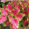 Arco Íris Flor Sortido (Coleus): 20 Sementes