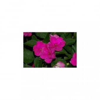 Beijo de Frade Deep Rose: 15 Sementes
