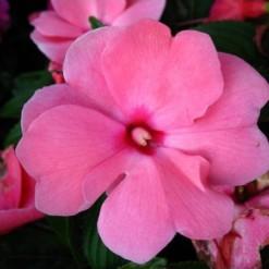 Beijo de Frade Pink Carnival: 15 Sementes