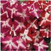 Beijo de Frade Rose Star: 15 Sementes