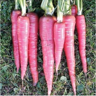 Cenoura Red: 20 Sementes