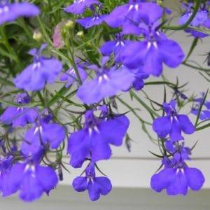 Comprar sementes de flores Lobélia Azul: 20 Sementes
