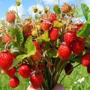 Comprar Sementes de Morango Silvestre: 20 Sementes