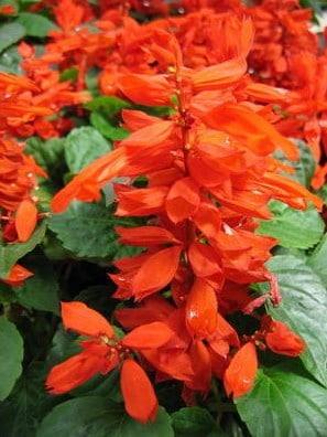 Flor de Cardeal Alta Vermelha: 20 Sementes