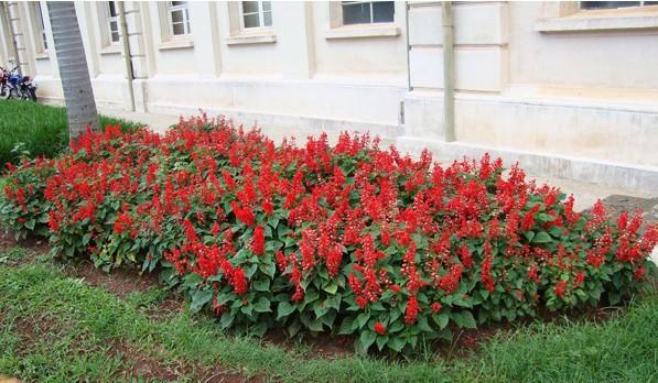 Flor de Cardeal Anã Vermelha: 20 Sementes