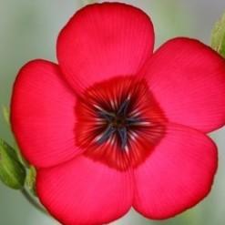 Flores de Linho de Jardim Vermelho: 15 Sementes