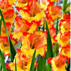 Gladiolo Amarelo e Laranja (Princes Margaret Rose): 6 Bulbos
