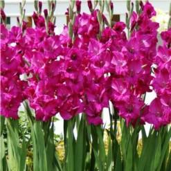 Gladiolo Fidélio (Pink): 6 Bulbos