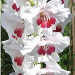 Gladiolo Fiorentina (Branco e Vinho): 6 Bulbos