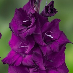 Gladiolo Roxo (Velvet Eyes): 6 Bulbos