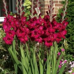 Gladiolo Vinho (Plum Tart): 6 Bulbos