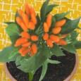 Pimenta Estromboli Ornamental: 20 Sementes