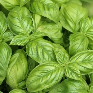 Sementes de Manjericão Italiano