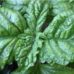 Sementes de Manjericão Toscano Folha de Alface