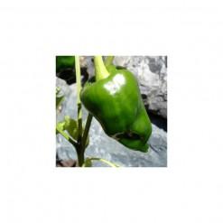 Sementes de Pimenta Ancho (Poblano)