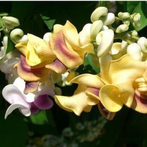 Sementes de Vigna Caracalla Lilás (Raridade)