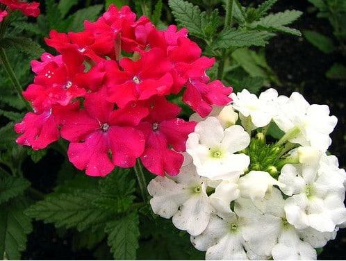 Verbena Sortida: 15 Sementes