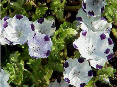 Baby Five Spots (Nemophila): 50 Sementes