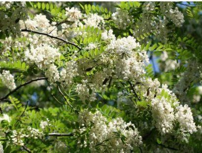 Black Locust (Falsa Acácia): 7 Sementes