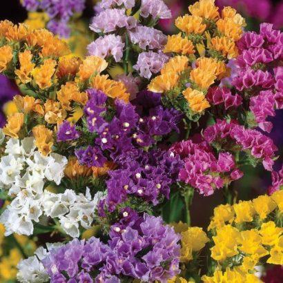 Comprar Sementes de Statice Sortida: 15 Sementes