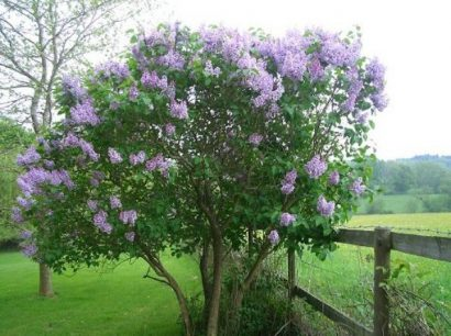 Lilás Francesa (French Lilac): 10 Sementes