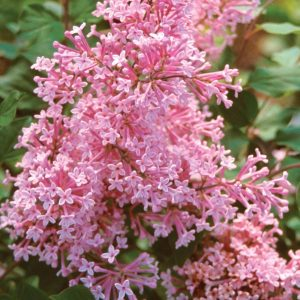 Lilás Pequenas Folhas: 10 Sementes