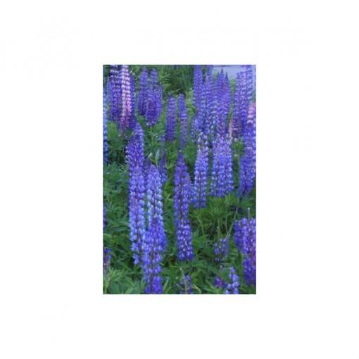 Lupino Azul: 15 Sementes