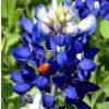 Lupino Texano Azul: 10 Sementes