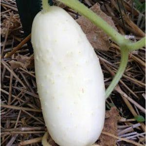 Pepino Branco: 20 Sementes