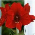 Amarilis Sortidas: 10 Bulbos (PROMOÇÃO COMPRE 10 E PAGUE 8)