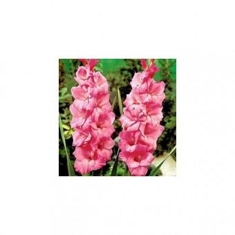 Gladiolos Sortidos: 60 Bulbos (PROMOÇÃO!! COMPRE 60 BULBOS E PAGUE 48)