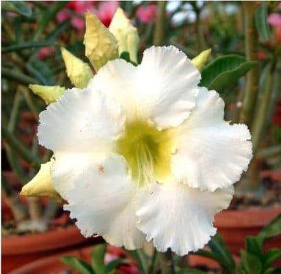 Comprar Sementes de Rosa do Deserto (Adenium)
