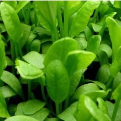 Comprar Sementes de Azedinha Planta