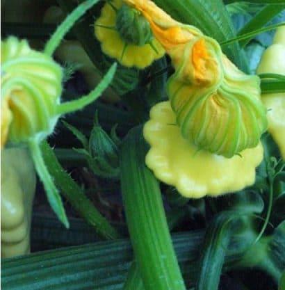 Sementes de Abobrinha Yellow Finger