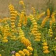 Sementes de Lupino Amarelo