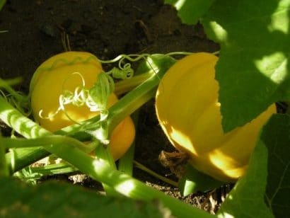 Abóbora Mini Jack - ORGÂNICO: 7 Sementes