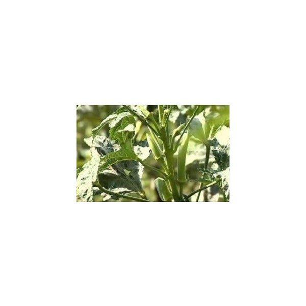 Comprar Sementes de Quiabo Orgânico