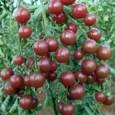 Comprar Sementes Orgânicas de Tomate Black Cherry
