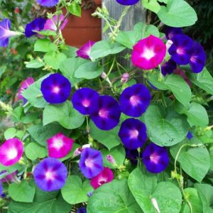 Sementes da Flor Morning Glory Sortida