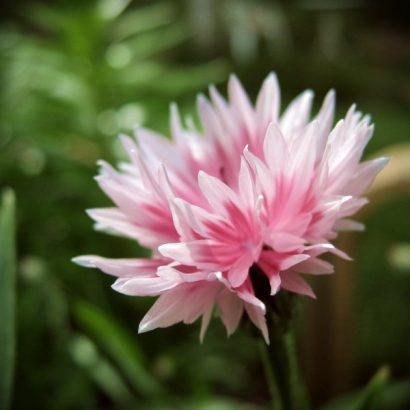 Sementes de Centáurea Rosa